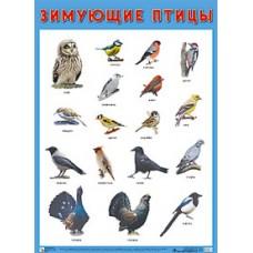 Зимующие птицы. Плакат. 500x690 мм