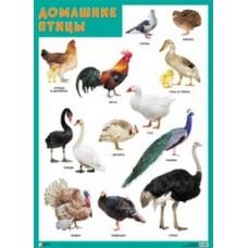 Домашние птицы. Плакат. 500x690 мм