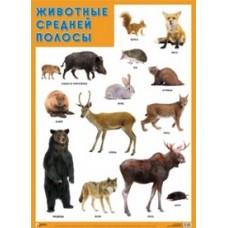 Животные средней полосы. Плакат. 500x690 мм